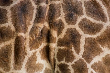 giraffe skin: Close up of spotted giraffe skin Stock Photo