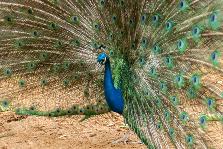 boastful: A peacock displays its blue and green feathers in a wide circle Stock Photo