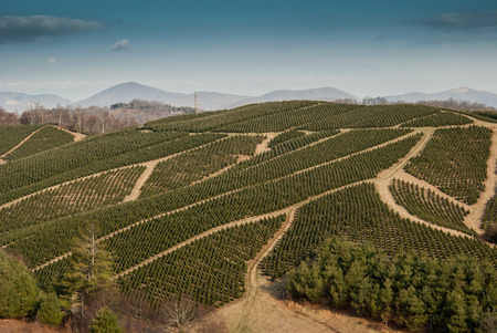 Christmas trees grow in carefully planned rows on a farm in the mountains of North Carolina