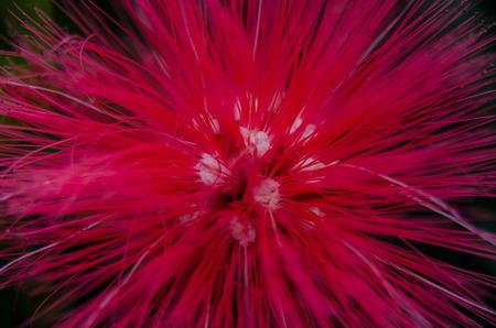 duster: A close up of a 'Baja Fairy Duster (Calliandra californica) Stock Photo