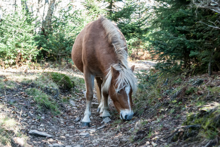 appalachian trail: A herd of wild ponies live in the Grayson Highlands along the Appalachian Trail