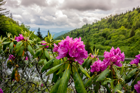smokies: Brilliant purple rhododendron near the road that runs through Great Smoky Mountain National Park