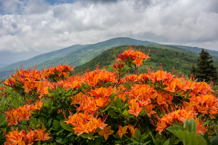 Orange flame azalea with Jane Bald in background Stock Photo