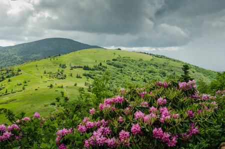 roan: Purple rhododendron bloom in June in the Roan Mountain highlands