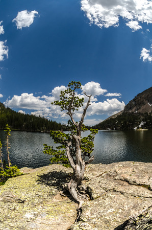 rocky mountain national park: A gnarly tree on a rock at the Loch in Rocky Mountain National Park