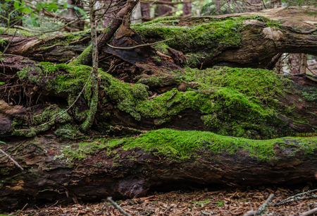 appalachian trail: Thick green moss grows on logs fallen along the Appalachian Trail