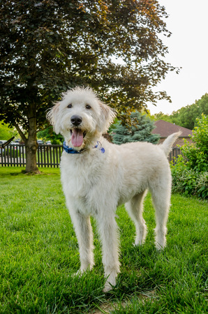 A white labradoodle stands proudly in a backyard during summer