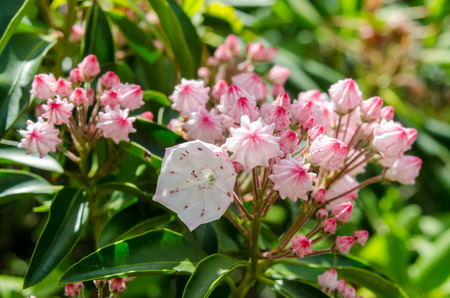 laurel mountain: Mountain laurel bloom along the Blue Ridge Parkway in mid June