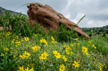 Yellow wildflowers bloom in early summer in Red Rocks State park Standard-Bild