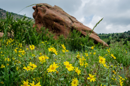 Yellow wildflowers bloom in early summer in Red Rocks State park Stock Photo