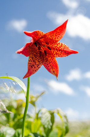 roan: A rare red speckled lily in the Roan Mountain highlands