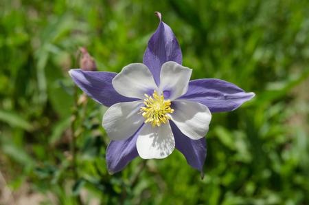 Eine Purpurrote Blume Abzweigen Eines Seerosenblatt Zu öffnen ...