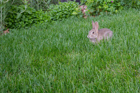 suburban neighborhood: A small bunny pauses in the lush grass of a Colorado suburban neighborhood