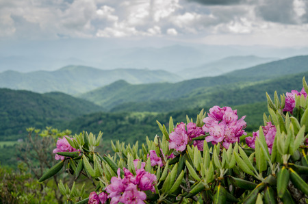spring season: Purple rhododendron bloom in the Roan Mountain Highlands each June