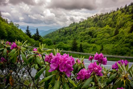 smokies: Rododendros catawba p�rpura cerca Clingmans Dome en el Smokies