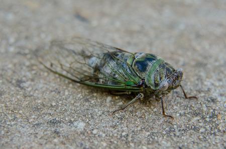 cicada bug: A blue and green cicada on a sidewalk