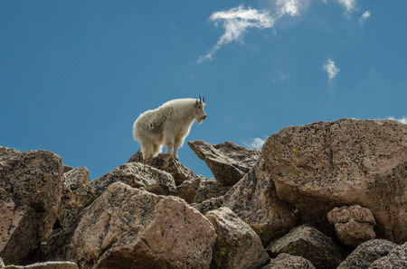 mount evans: A mountain goat near the top of Mount Evans climbs on a pile of boulders