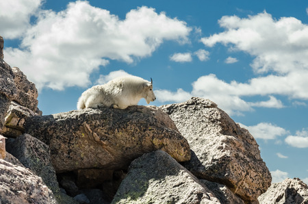 lays down: A goat lays down on a heap of boulders near the peak of Mount Evans