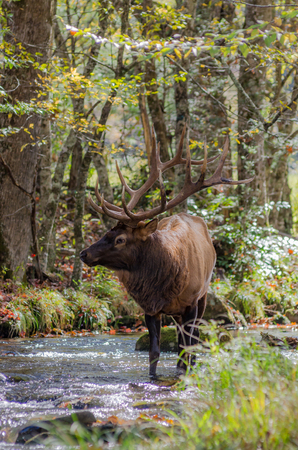 smokies: A bull elk stops in a creek to drink some fresh water