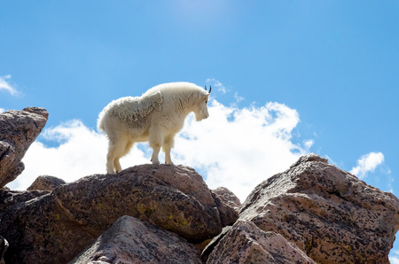 mount evans: A wild mountain goat near the summit of Mount Evans with a profile view