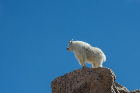 mount evans: A mountain goat stands on top of a boulder near the peak of Mount Evans