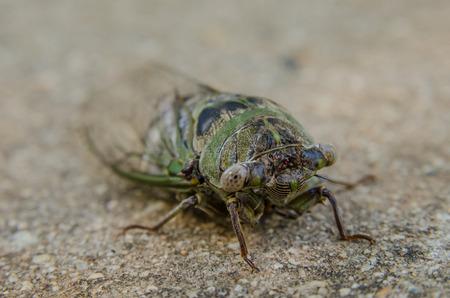 cicada bug: A green and blue cicadia on a concrete sidewalk