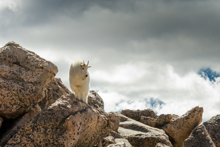 atop: A mountain goat atop boulders near Mount Evans blends in with the clouds Stock Photo