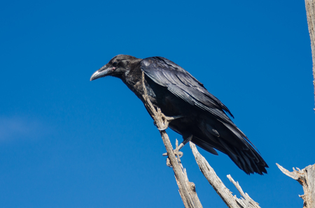 black raven: A black raven perched on the dead branches of a tree