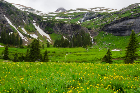 silverton: A hiker meanders through a field of yellow wildflowers high in the Colorado mountains near Silverton Stock Photo