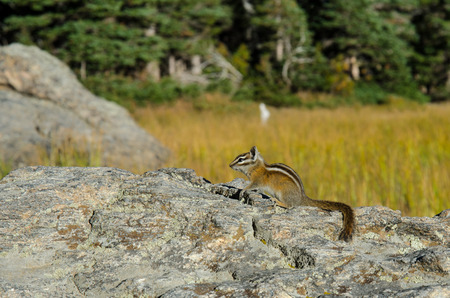 rocky mountain: A chipmunk pauses on a large rock in Rocky Mountain National Park