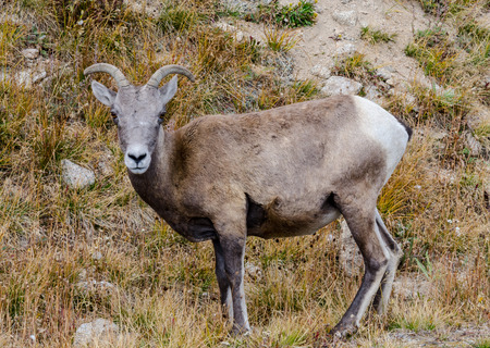 mount evans: A bighorn sheep grazing near the top of Mount Evans in Colorado Stock Photo
