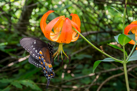 sucks: A butterfly with orange and blue details sucks nectar out of a Turks Cap Lily