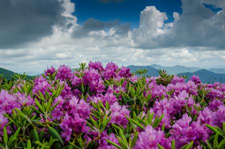 jane: Purple rhododendron bloom on Jane Bald in June