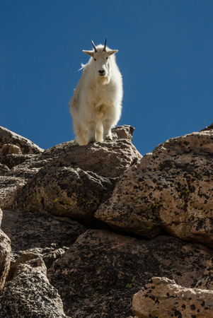 atop: A goat facing forward atop a boulder near the summit of Mount Evans Stock Photo