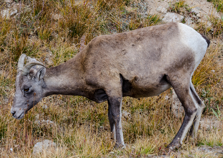 mount evans: A bighorn sheep grazing along the road to Mount Evans in Colorado Stock Photo
