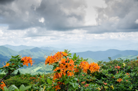 roan: Flame azalea in the foreground of a mountain ridge in early summer in the Roan Mountain highlands Stock Photo
