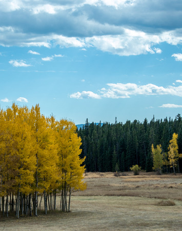 aspen grove: A grove of aspen trees turns yellow in autumn in a small grove next to a field