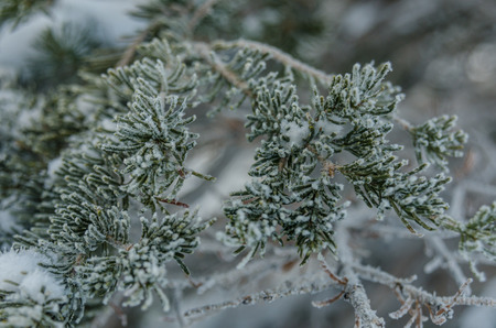 pine tree needles: Snow crystals and ice stick to the tips of pine tree needles