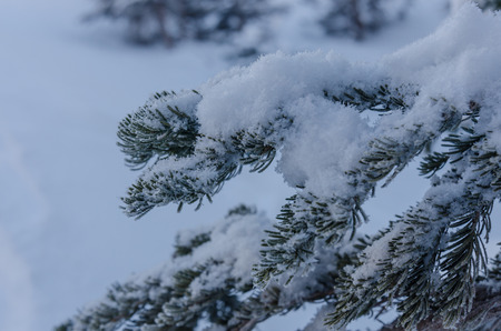 boughs: Snow piles on the boughs of a pine tree in a wintery forest