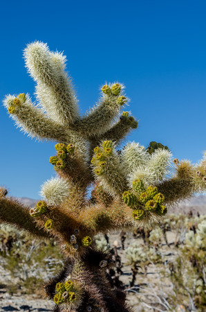 cholla cactus: New growth on cholla cactus with blue sky in background Stock Photo