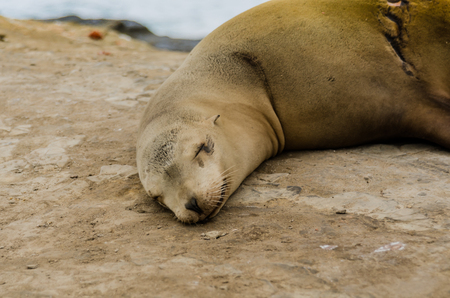 Close up of single sleeping sea lion with healed scar