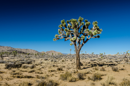 Single Joshua tree on Clear day in southern California