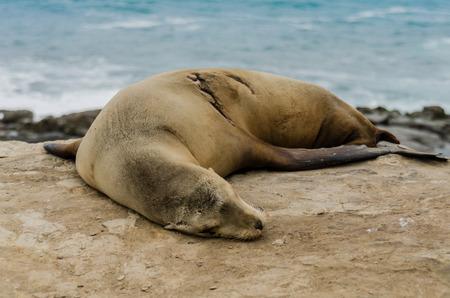 Single sleeping sea lion on rocks with evidence of a healed scar Stock fotó