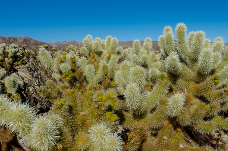 cholla cactus: Looking out over cholla cactus garden in the transitional region between the Mojave and Colorado deserts