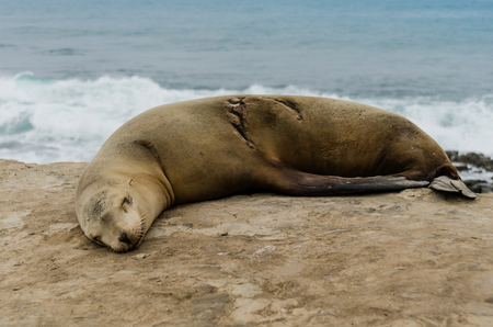 healed: Single sleeping sea lion with healed scar side view Stock Photo