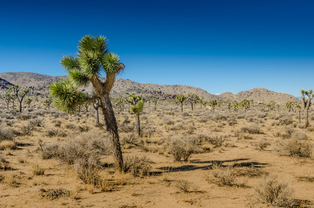 expanse: Small Joshua tree leaning over in front of a vast expanse of desert