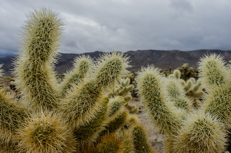 cholla cactus: Cholla cactus close up on cloudy day in an El Nino year Stock Photo