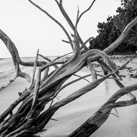 tangled: Tangled driftwood branches on a quiet beach in the virgin islands Stock Photo