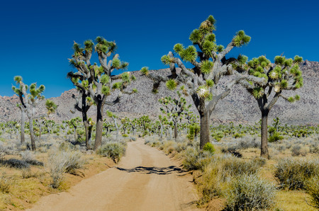 flank: Large group of joshua trees flank dirt road with mountains in background