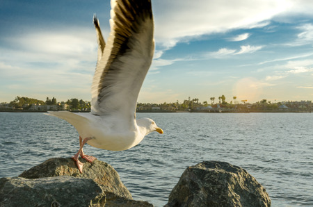 Convention Center: Seagull Taking flight on rocks near the San Diego convention center